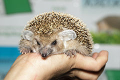 Hemiechinus auritus, Long-eared hedgehog. Like a pet Royalty Free Stock Photos