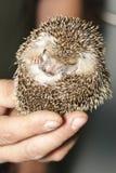 Hemiechinus auritus, Long-eared hedgehog Stock Photography