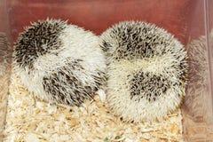 Hemiechinus auritus, Long-eared hedgehog Royalty Free Stock Image