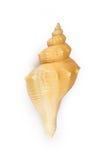 HEMIFUSUS TUBA konchy Seashell odizolowywający Zdjęcie Stock