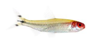 hemigrammus ψαριών bleheri Στοκ φωτογραφίες με δικαίωμα ελεύθερης χρήσης