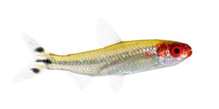 Hemigrammus bleheri fish Royalty Free Stock Images