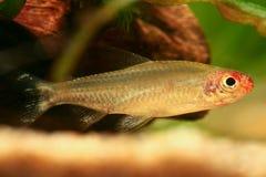 Hemigrammus bleheri fish. In a tank royalty free stock images