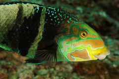 Hemigymnus fasciatus - Andaman Morze Zdjęcia Stock