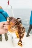Hemilepidotus è genere degli scazzoni marini Pesca marittima inferiore nel Pacifico vicino a Kamchatka Fotografia Stock