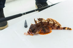 Hemilepidotus is genus of sculpins. Bottom sea fishing in the Pacific near Kamchatka. Royalty Free Stock Photo