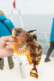 Hemilepidotus is genus of sculpins. Bottom sea fishing in the Pacific near Kamchatka. Stock Photography