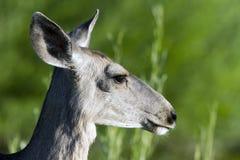 鹿hemionus骡子空齿鹿属 图库摄影