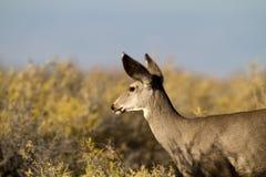 长耳鹿,空齿鹿属hemionus 库存图片