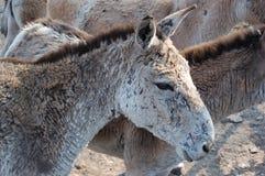 Hemionus del Equus Fotografie Stock