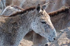 Hemionus del Equus Fotos de archivo