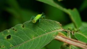 Hemiptera bugs hiding behind the leaf. Hemiptera bugs are walking and hiding behind the green leaf stock video footage