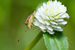 Hemiptera in green nature Stock Photo