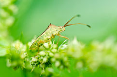 Hemiptera in green nature Stock Images