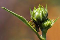 Hemiptera inside Stock Image