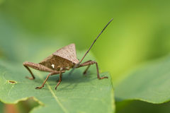 Hemiptera Stock Photography