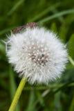 Hemiptera. Stock Photography