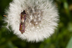 Hemiptera. Royalty Free Stock Photo