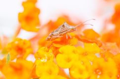 Hemiptera on the yellow flower Royalty Free Stock Photography