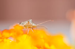 Hemiptera on the yellow flower Royalty Free Stock Images