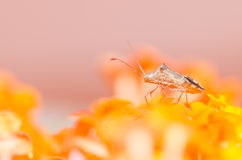 Hemiptera on the yellow flower Stock Photography