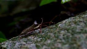 Hemipteran bug climbing the rock substrate stock video