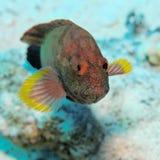 Hemistiktos de Cephalopholis - recife do St John, Egipto Imagens de Stock Royalty Free