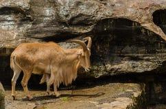 hemitragus himalajski jemlahicus latin imienia tahr Fotografia Stock