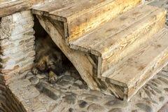 Hemlös brun stor hund som sover på stengolvet under trätrappan fotografering för bildbyråer