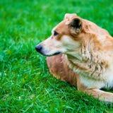 Hemlös hund Arkivbild