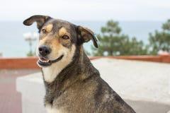 Hemlös hund med en chip i örat arkivfoto