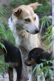 Hemlös hund med valpar Arkivbild