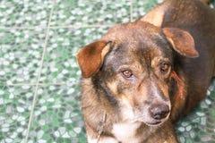 Hemlös hund som framåtriktat ser Royaltyfri Foto
