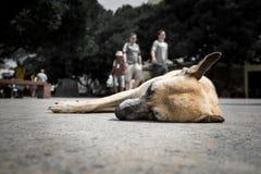 Hemlös hund som ligger på gatan av Salvador de Bahia, Brasilien Royaltyfri Foto