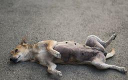 Hemlös hund som sover på gatan i rolig position Fotografering för Bildbyråer
