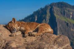 Hemlös hund som sover på kullen Sri Lanka Litet Adam's maximum royaltyfria foton