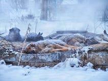 Hemlös hundkapplöpning i vinter Fotografering för Bildbyråer