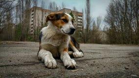 Hemlös lös hund i Pripyat Royaltyfria Foton