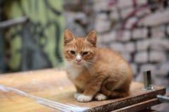 Hemlös ljust rödbrun kattunge arkivbild