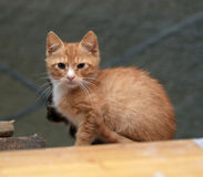 Hemlös ljust rödbrun kattunge royaltyfri foto