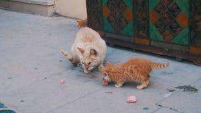 Hemlös röd katt med en kattunge på gatan som äter mat lager videofilmer