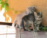 hemlösa kattungar arkivbilder