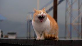 Hemlösa röda kattgäspningar och handtag upp, bakgrunden - stranden lager videofilmer