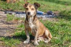 Hemlösen förföljer En hemlös gullig brun hund går i natur En hund r Arkivfoto