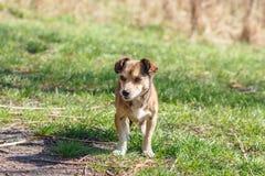 Hemlösen förföljer En hemlös gullig brun hund går i natur En hund r Fotografering för Bildbyråer