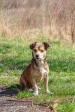 Hemlösen förföljer En hemlös gullig brun hund går i natur En hund r Arkivfoton