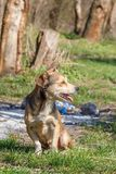 Hemlösen förföljer En hemlös gullig brun hund går i natur En hund r Royaltyfri Bild