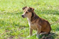 Hemlösen förföljer En hemlös gullig brun hund går i natur En hund r Royaltyfria Bilder