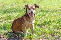 Hemlösen förföljer En hemlös gullig brun hund går i natur En hund r Royaltyfri Foto