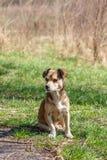 Hemlösen förföljer En hemlös gullig brun hund går i natur En hund r Arkivbilder